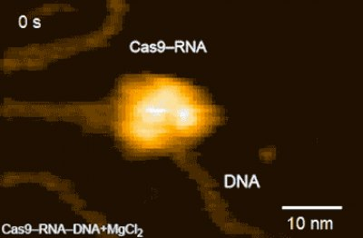 Real-space and real-time dynamics of CRISPR-Cas9 visualized by high-speed atomic force microscopy