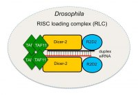 TAF11 Assembles the RISC Loading Complex to Enhance RNAi Efficiency.