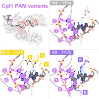 Structural basis for the altered PAM recognition by engineered CRISPR-Cpf1