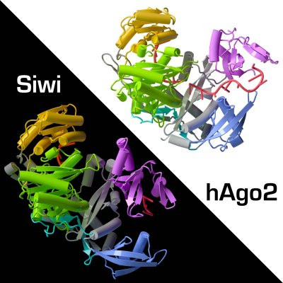 Crystal Structure of Silkworm PIWI-Clade Argonaute Siwi Bound to piRNA