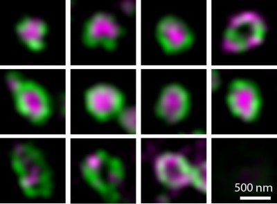 Structural, super-resolution microscopy analysis of paraspeckle nuclear body organization.