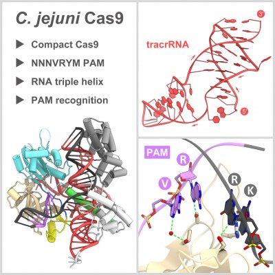 Crystal Structure of the Minimal Cas9 from Campylobacter jejuni Reveals the Molecular Diversity in the CRISPR-Cas9 Systems